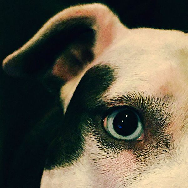 Open Edit Spoon The Dog Pitbull Staffy Blue Eyes Dilated Excited