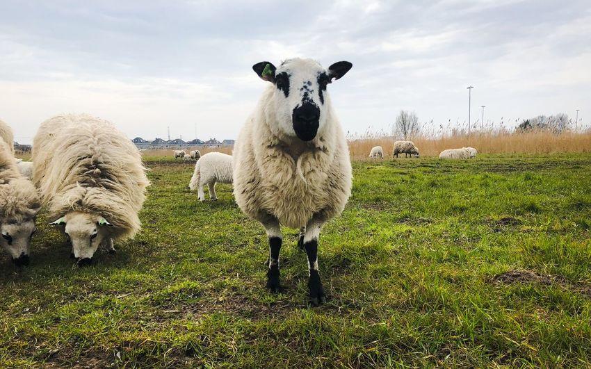 Sheep EyeEm Selects Animal Themes Animal Mammal Sky Livestock Grass Field Sheep