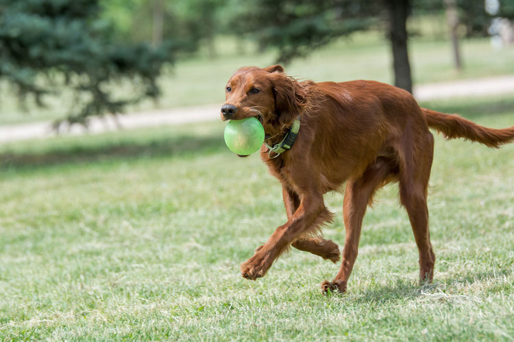 Irish setter carrying ball in mouth while running on field