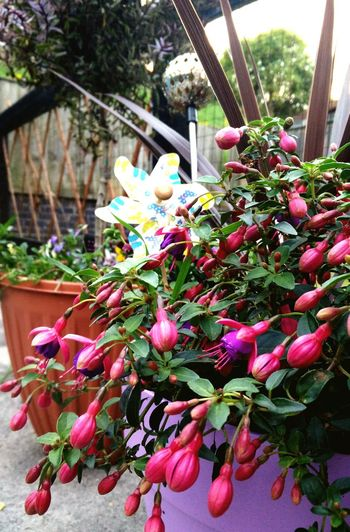 Fusia cascade Fusia Tom Thumb Cordyline Potted Plant Trailing Plant Lush Foliage Nature Hebe Tree Flame Violas Urban Garden