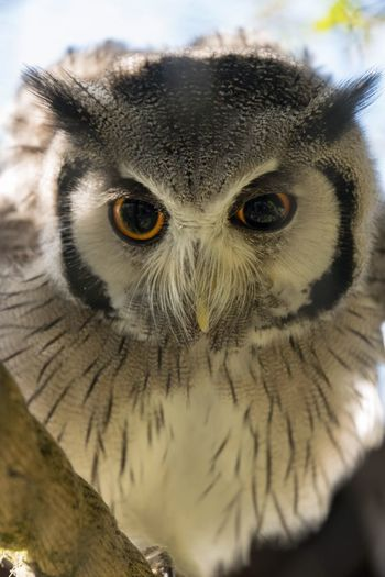 Protecting his food, well aware of our presence and making himself big he shows us with those big eyes, I mean buissness step away. Looking At Camera Animal Themes One Animal Portrait Owl Bird Animals In The Wild Close-up Bird Of Prey Animal Eye No People Nature Outdoors Day