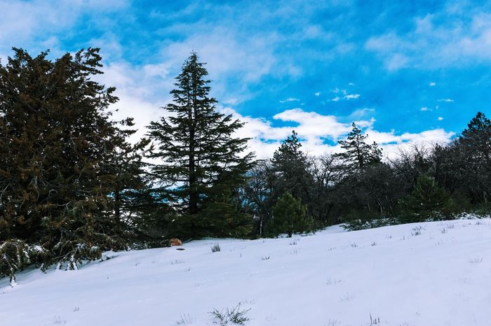Snow Winter Tree Pine Tree Cold Temperature Landscape No People Sky Nature Beauty In Nature Outdoors Day Clouds And Sky Nature Tree Tranquility Cloud - Sky EyeEmNewHere