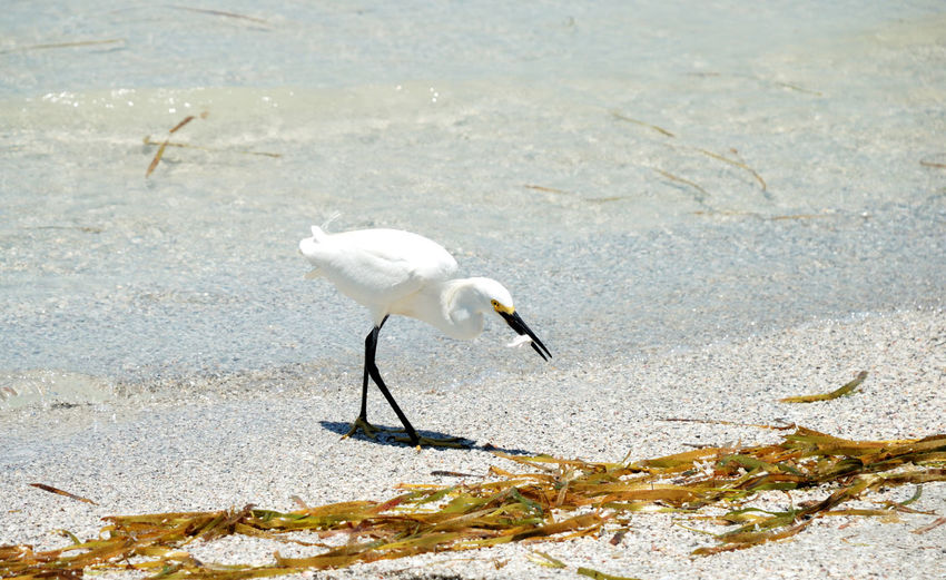 Animal Wildlife Animals In The Wild Beach Bird Bird Eating Bird With Fish Day Egret Nature No People One Animal Outdoors Sunlight Water White Bird White Egret