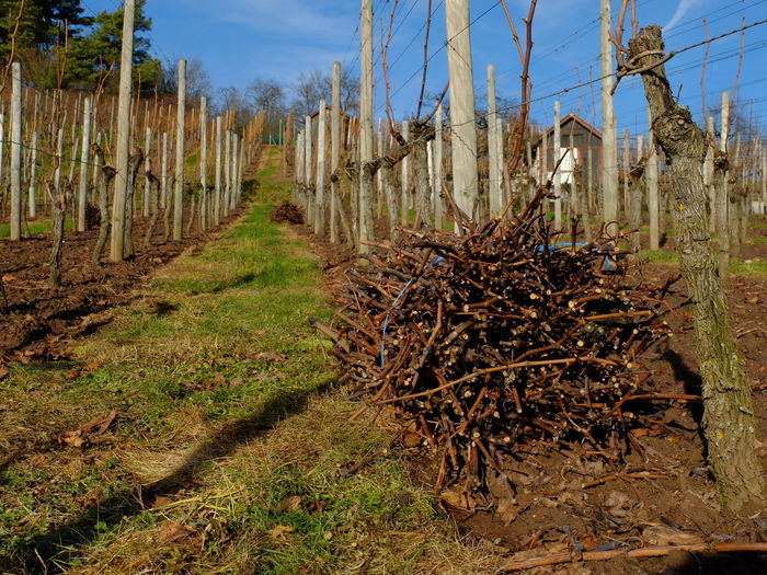 vineyard in winter after pruning of the vines, cutted vines in a bundle Winter Cutting Vines No People Outdoors Pruning Vines Vines On Trees Vineyard Cultivation Vineyard In Winter Viniculture