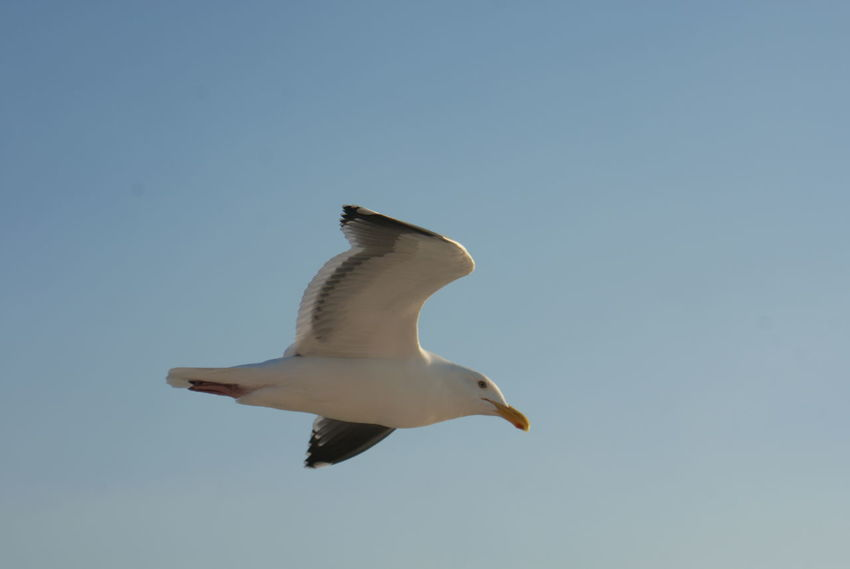 A gull soars against a clear blue sky over San Francisco Bay. Bird Blue Blue Sky Clear Sky Day Flying Gull Gulls In Flight Mid-air Motion Nature One Animal Sea Gull Seagull Sky Soaring Spread Wings Wildlife