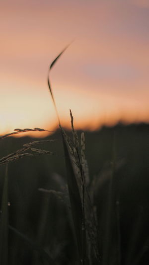 Close-up of dry plant on field against sky during sunset
