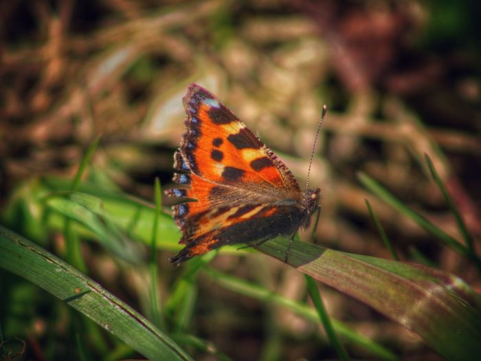 Spring 2016 Butterfly Flutterby Insect Springtime Nature_collection EyeEm Gallery Our Best Pics EyeEm Best Shots EyeEm Best Shots - Nature Exceptional Photographs Animal Magic Orange Butterfly Common Butterfly British Butterflies Blades Of Grass Natures Magic Signs Of Spring Natures Diversities Beauty In Nature EyeEm Nature Lover Nature
