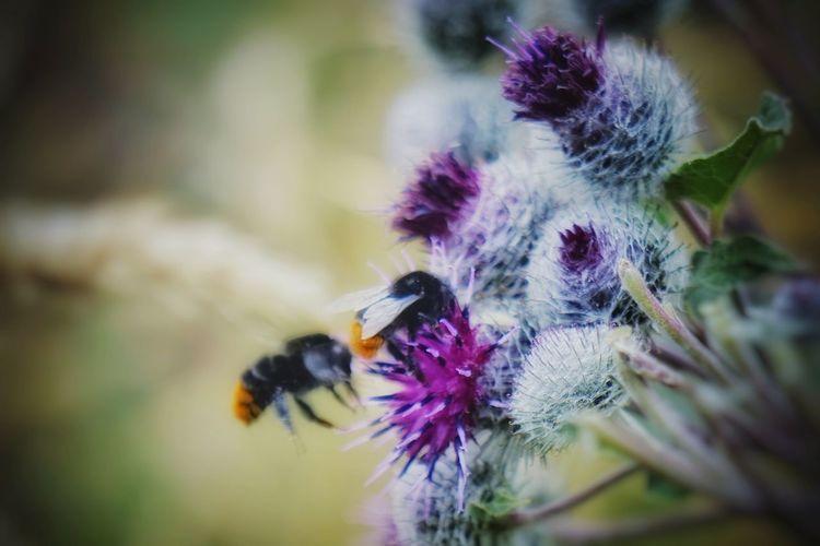 Hard work for people...wśród kwiatów łopianu. Pszczoły łopian Dziady Arctium Lappa L. Flower Insect Close-up Buzzing Honey Bee Bee Bumblebee