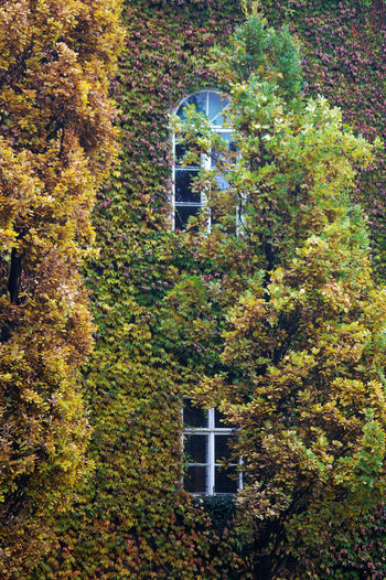 Architecture Autumn Ivy Leaves Nature Plant Wall Covered With Plant Windows