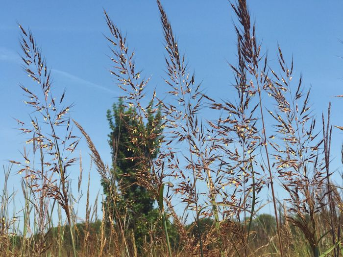 Close-up of fresh plants against clear blue sky