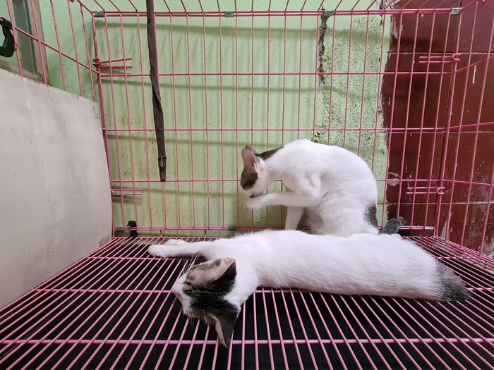 White cat in cage