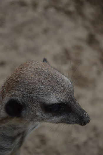 High angle view of meerkat on field