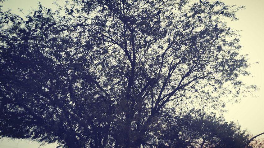Naturaleza viva de invierno Nature Paisaje Birds Avces Crows Cuervos Tree Arboles Nuevoleon Diciembre Invierno Amanecer