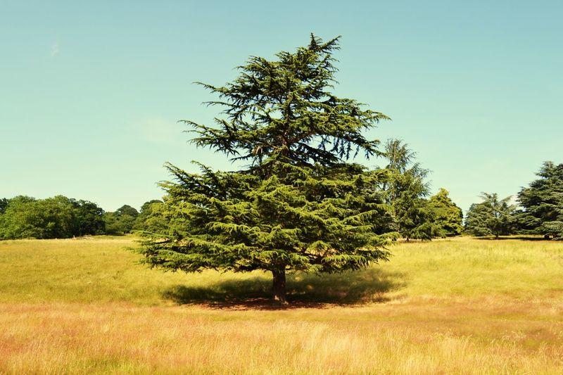 Richmond Park, London United Kingdom Summer Tree Cedre Nature Photography Perspective Été Belle Journée Au Soleil La Vie Est Belle ! No People Nature