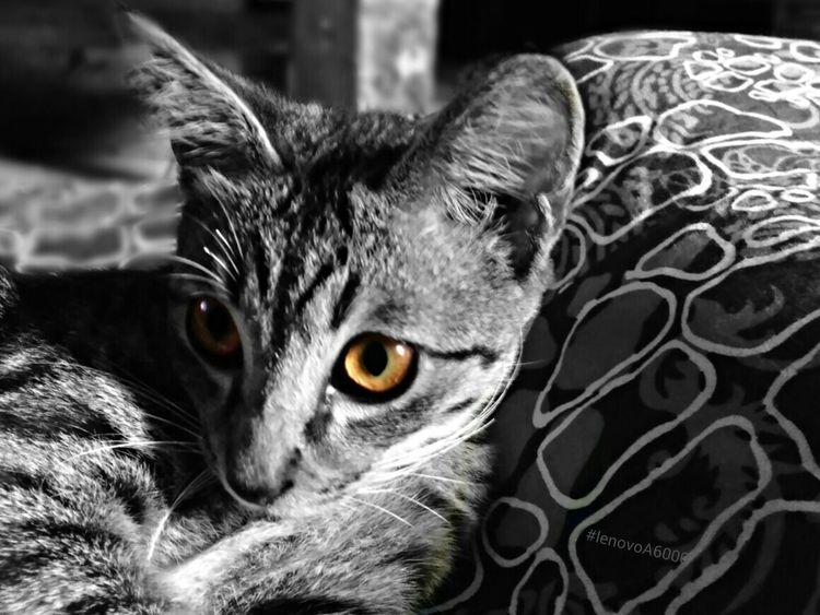 Domestic Cat Pets One Animal Domestic Animals Animal Themes Mammal Close-up Animal Head  Yellow Eyes PhonePhotography EyeEm Best Shots Portrait Isolated Color Animal Eye Octavianuspict Eyeemindonesia INDONESIA Lenovoa6000 Phonegraphy