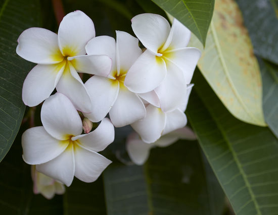 Beauty In Nature Close-up Day Flower Flower Head Flowering Plant Focus On Foreground Fragility Frangipani Freshness Growth Inflorescence Leaf Nature No People Outdoors Petal Plant Plant Part Vulnerability  White Color