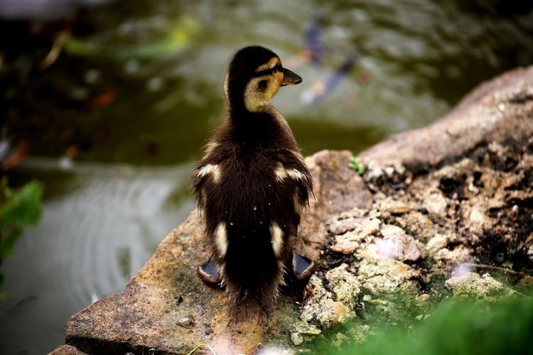High Angle View Of Duckling On Rock