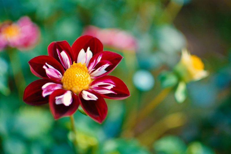 Daria flower Daria Red Flower Single One