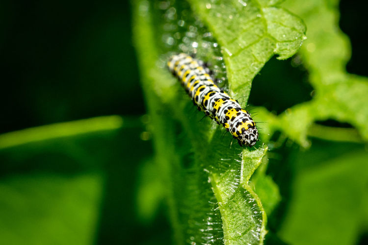 Mullein moth caterpillar Mullein Moth Mullein Moth Caterpillar Animal Animal Themes Animal Wildlife Animals In The Wild Caterpillar Caterpillars  Close-up Crawling Day Green Color Growth Insect Invertebrate Leaf Mullein Caterpillar Nature No People One Animal Outdoors Plant Plant Part Selective Focus Zoology