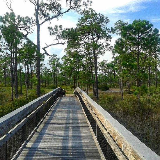 Pine Trees Pine Forest Bridge Long Trail Long Bridge Empty