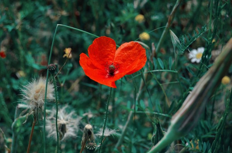 Flower Head Flower Poppy Rural Scene Red Uncultivated Fly Agaric Mushroom Wildflower Close-up Grass
