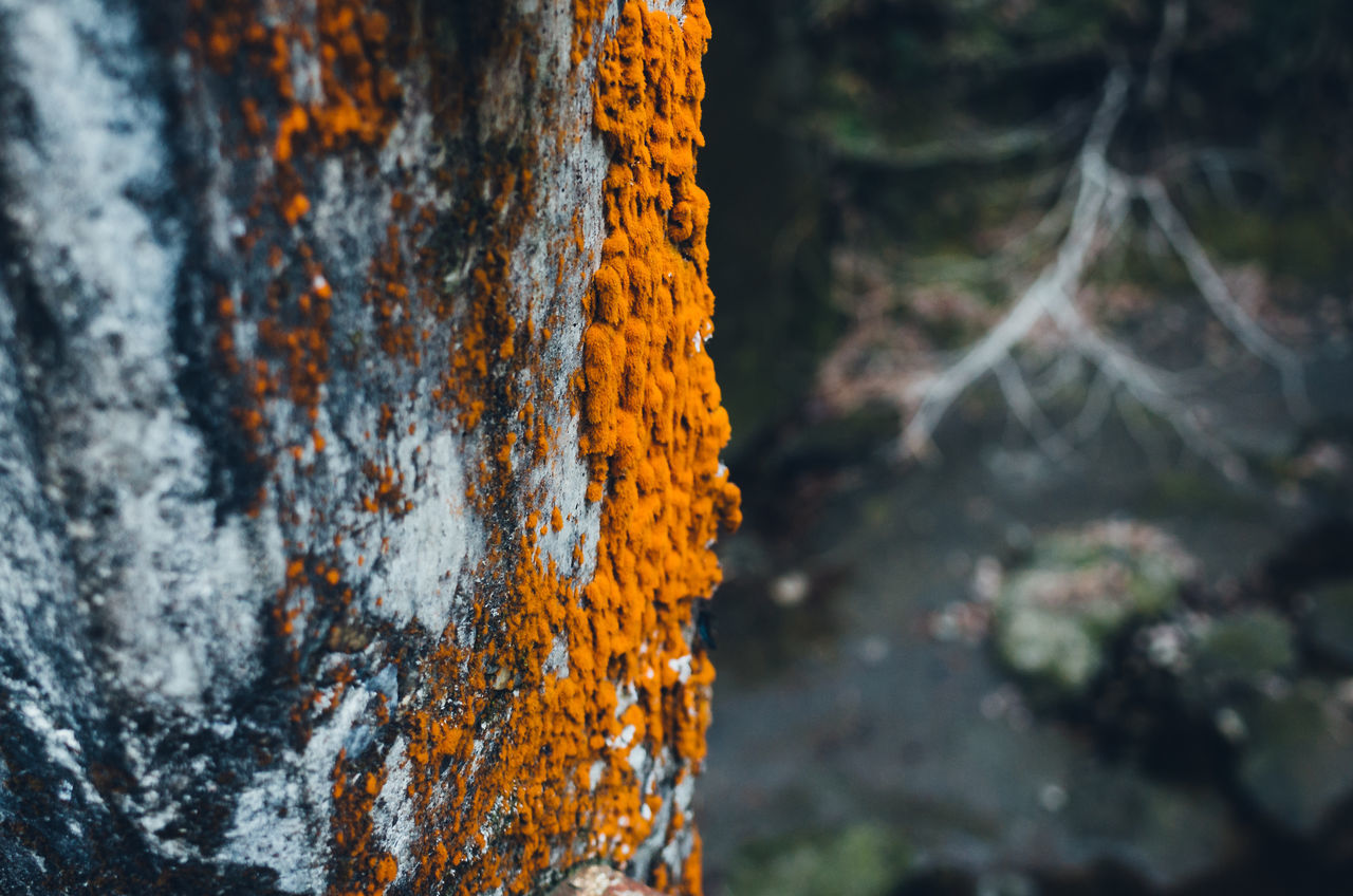 Close-up of orange color moss on tree trunk