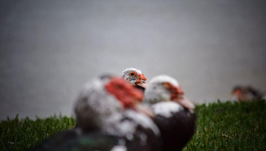 peek a boo Ducks Peekaboo Peeking Aperture Priority Creep Creepy LOL