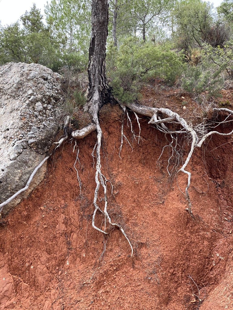 tree, plant, land, nature, no people, day, forest, rock, root, outdoors, solid, rock - object, tranquility, environment, beauty in nature, branch, tree trunk, non-urban scene, water, trunk