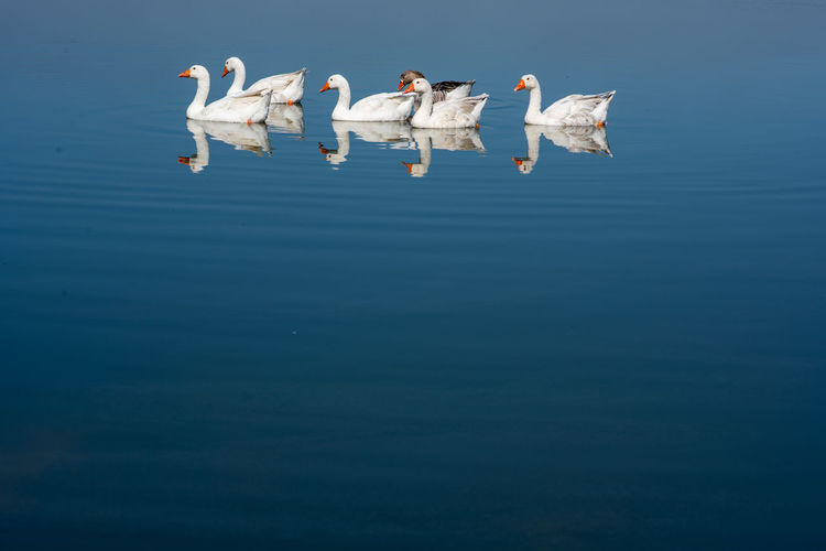 Formation Water Waterfront Animal Animal Themes Group Of Animals Animal Wildlife Blue Lake Animals In The Wild Reflection Bird Nature Swimming Vertebrate No People Day Copy Space Swan Goose