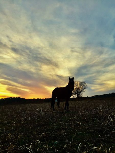 Day Animal Themes Domestic Animals Field One Animal Nature Beauty In Nature Sunset Landscape Scenics Outdoors No People Beauty In Nature Tranquility Travelgram Traveling Photography Horselife Horses Are My Life Horsestagram Horselovers Horse Photography  Horsesofinstagram Horselove Horseriding Horse Life