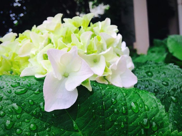 Flower Freshness Flower Head Petal No People Green Color Beauty In Nature Close-up Nature Fragility Plant Leaf Day Outdoors Green Plant Green Color Growth Nature Freshness Blooming Summer Hygrangea Shanghai, China