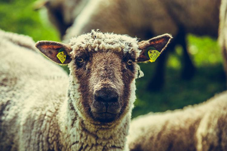 Close-up of sheep looking at camera