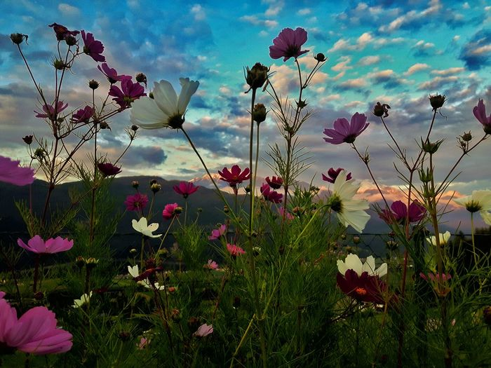 Tyrol-Austria Mountain Range Sunset Alpenglühn Sky And Clouds EyeEm Nature Lover Eyemgallery Tirol  Garden Flower Growth Nature Beauty In Nature Fragility Plant Freshness No People Sky Blooming Cosmos Flower Petal Flowering Plant Blossom Plant Life Botany In Bloom