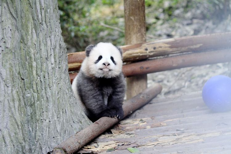 Panda by tree trunk in forest