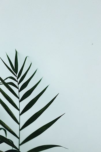 Copy Space Leaf Close-up No People Day Growth Outdoors Clear Sky White Background Fragility Nature Leaf Palm