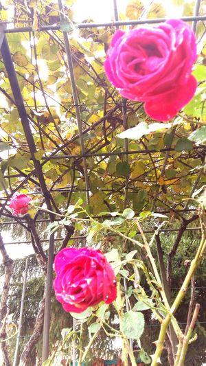 ..se sono rose fioriranno..
