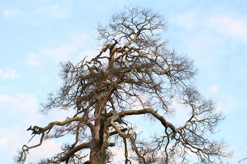 Bare Tree Beauty In Nature Branch Cloud - Sky Day Dead Tree Low Angle View Nature No People Outdoors Sky Tranquility Tree Tree Trunk