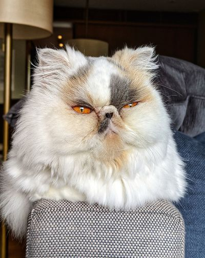 Pets Portrait Dog Looking At Camera Home Interior Close-up Domestic Cat Whisker Animal Eye Feline Cat Persian Cat