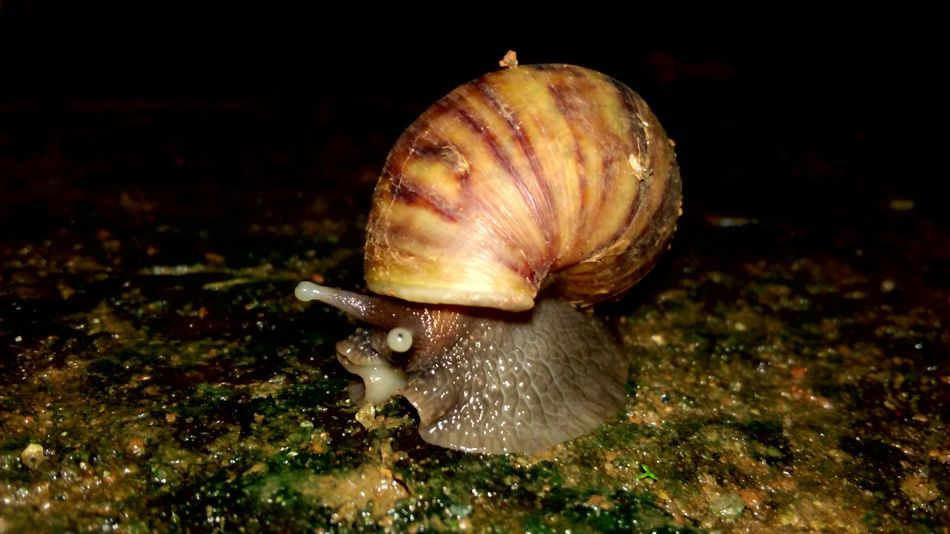 When the snail smiles ☺🐌 have you seen before ? Snails🐌 Snail Collection Animal Themes One Animal Close-up No People Nature Outdoors Fragility Black Background Gastropod Slimy Indonesian_allshots Indonesian Photographers Collection Animal Wildlife Animals In The Wild Indonesia_allshots Indonesian Street (Mobile) Photographie Nature In The Night