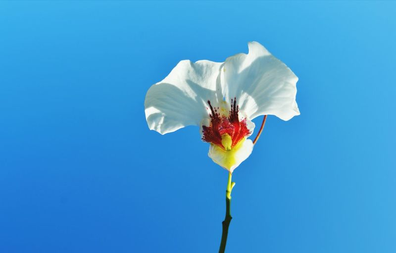 Close-up of white flower blooming against clear blue sky