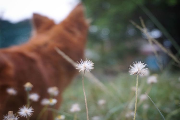 White flowers with blurred background of a dog. Dog Shillouette EyeEm Selects Plant Flower Flowering Plant Freshness Close-up Fragility Focus On Foreground Nature No People Day Growth Field Beauty In Nature Mammal Inflorescence Flower Head Land One Animal Outdoors Vulnerability