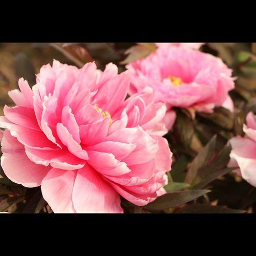 牡丹 牡丹 ぼたん 花 植物 岩沼市 金蛇水神社 Peony  Paeonia Paeoniasuffruticosa
