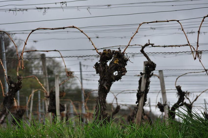 Early Spring Grapevine Pruning Winter Binding Cut Vines Outdoors Pruned Pruned Vines Pruning Of Vines Seasons Vineyard Viniculture