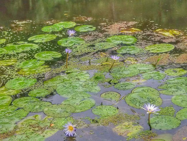 Nature Flower Nature Agua Plant 🌸🌸🌷 ❤️❤️😍😍 Flores, Bosques Y Naturaleza. Flores Flowers Vitoria Regia