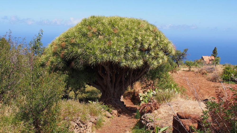 Dragon Tree Flower Tree Growth No People Plant