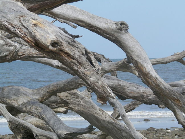 Bare Tree Beauty In Nature Branch Clear Sky Day Driftwood Driftwood Beach Ga. Jekyll Island Low Angle View Nature No People Outdoors Scenics Sea Sky Textured  Tranquil Scene Tranquility Tree Tree Trunk Water Wood - Material