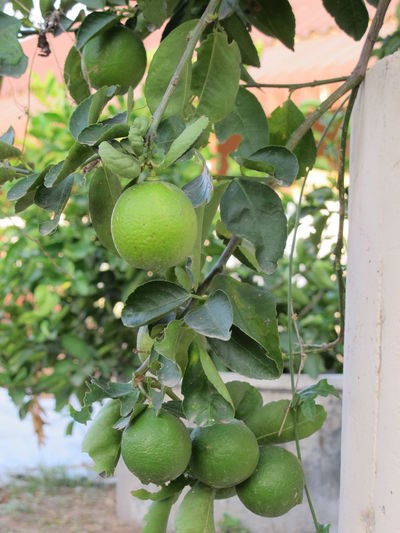 Agriculture Branch Citrus Fruit Close-up Day Food Food And Drink Freshness Fruit Green Color Growth Healthy Eating Juicy Leaf Lemon Lemon Garden Lemons Nature No People Outdoors Tree