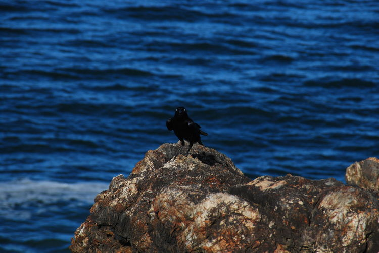 Animal Themes Animal Wildlife Animals In The Wild Bird Cormorant  Day Nature No People One Animal Outdoors Perching Rock - Object Sea Water
