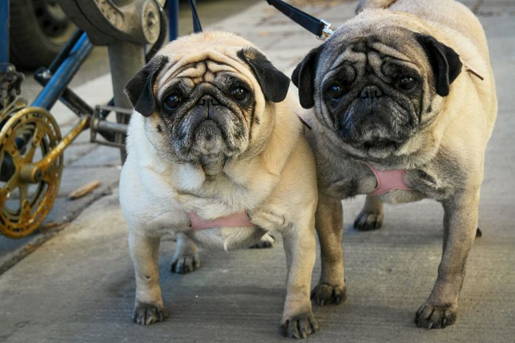 Two pug dogs on leash