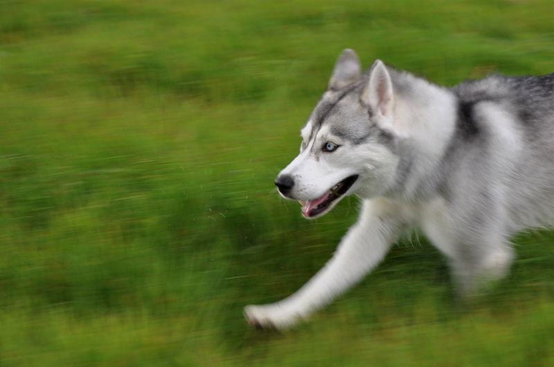 Blurred motion of dog running on grassy field